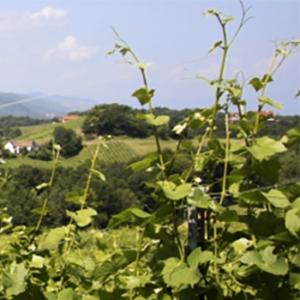 Rosewein/Frizzante